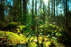 Germoglio del pino siberiano, fine su Paesaggio della natura di ecologia Sun in foresta verde immagine stock libera da diritti