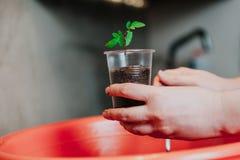Germoglio del pomodoro della pianta delle mani in recipiente di plastica Fotografie Stock Libere da Diritti
