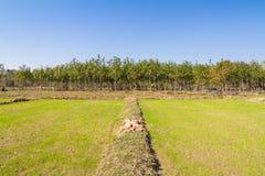 Germoglio del riso che cresce nel campo e nell'albero di gomma nel fondo Fotografie Stock