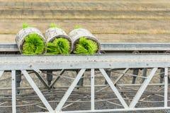 Germoglio del riso degli spedizionieri del trasporto giovane dalla scatola al Fotografia Stock Libera da Diritti
