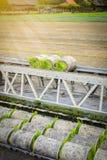 Germoglio del riso degli spedizionieri del trasporto giovane dalla scatola al Fotografie Stock