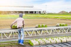 Germoglio del riso degli spedizionieri del trasporto giovane dalla scatola al Immagini Stock Libere da Diritti