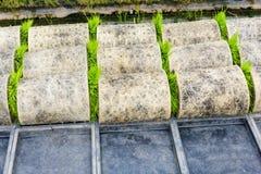 Germoglio del riso degli spedizionieri del trasporto giovane dalla scatola al Fotografia Stock