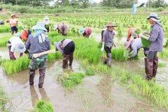 Germoglio del riso del raccolto dell'agricoltore Fotografia Stock