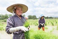 Germoglio del riso del raccolto dell'agricoltore Immagini Stock