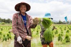 Germoglio del riso del raccolto dell'agricoltore Fotografia Stock Libera da Diritti