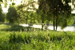 Germoglio del silene latifolia Immagine Stock