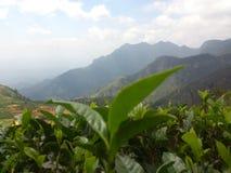 Germoglio del tè della Sri Lanka fotografie stock libere da diritti
