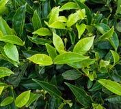 Germoglio del tè verde e foglie fresche Immagini Stock
