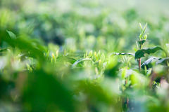 Germoglio del tè verde e foglie fresche Fotografia Stock Libera da Diritti