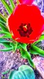 Germoglio del tulipano dalla cima fotografie stock