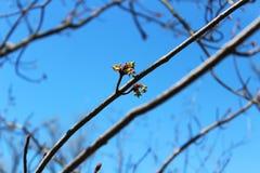 Germoglio dell'albero Fotografia Stock