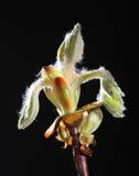 Germoglio dell'albero di castagna Fotografie Stock