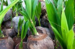 Germoglio dell'albero di noce di cocco Immagini Stock Libere da Diritti