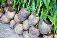 Germoglio dell'albero di noce di cocco Fotografia Stock Libera da Diritti