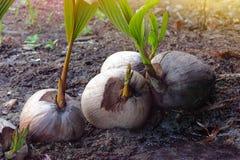 Germoglio dell'albero di noce di cocco Immagini Stock