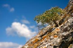 Germoglio dell'albero sulla pietra Immagini Stock