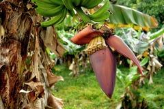 Germoglio della banana immagini stock libere da diritti