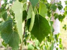 Germoglio della betulla Fotografie Stock