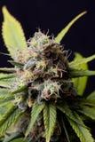 Germoglio della cannabis Fotografia Stock Libera da Diritti