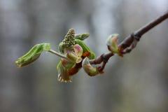 Germoglio della castagna della primavera Fotografia Stock Libera da Diritti