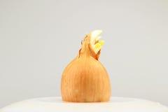 Germoglio della cipolla su un piatto bianco su un fondo bianco Fotografie Stock