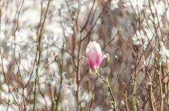 Germoglio della magnolia Fotografia Stock Libera da Diritti