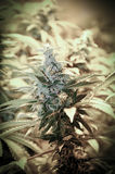 Germoglio della marijuana della cannabis Fotografia Stock