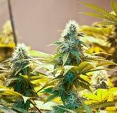 Germoglio della marijuana della cannabis Fotografia Stock Libera da Diritti