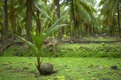 Germoglio della noce di cocco Fotografia Stock Libera da Diritti