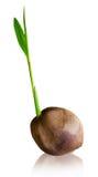 Germoglio della noce di cocco Fotografia Stock