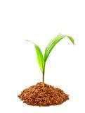 Germoglio della palma da olio con terreno Fotografia Stock