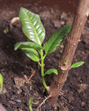 Germoglio della pianta da gomma Immagini Stock Libere da Diritti