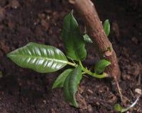 Germoglio della pianta da gomma Immagine Stock