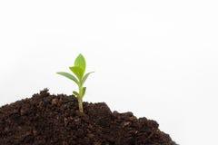 Germoglio della plantula sul suolo Fotografie Stock