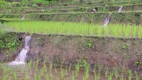 Germoglio della risaia in azienda agricola del riso del terrazzo e piccola acqua della diga (colpo tre e suono) Immagini Stock