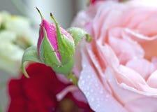 Germoglio della Rosa Immagini Stock Libere da Diritti