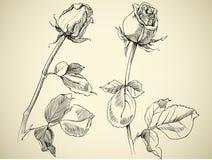 Germoglio della Rosa royalty illustrazione gratis
