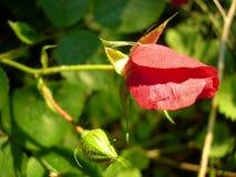 Germoglio della Rosa Fotografie Stock Libere da Diritti