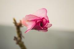 Germoglio della rosa del deserto Fotografie Stock