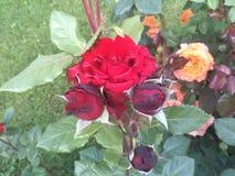 Germoglio della rosa del nero Immagine Stock