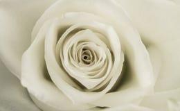 Germoglio della rosa di bianco. Immagini Stock