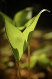 Germoglio della sorgente della pianta Fotografie Stock