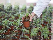 Germoglio della tenuta dello scienziato in vaso di fiore Fotografie Stock