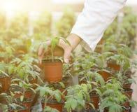 Germoglio della tenuta dello scienziato in vaso di fiore Fotografia Stock Libera da Diritti