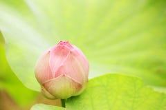 Germoglio dentellare del loto Fotografia Stock