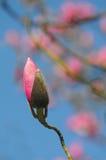 Germoglio dentellare della magnolia Fotografia Stock