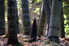 Germoglio di bambù Fotografia Stock