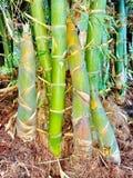 Germoglio di bambù Fotografie Stock Libere da Diritti