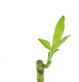 Germoglio di bambù su bianco Immagine Stock